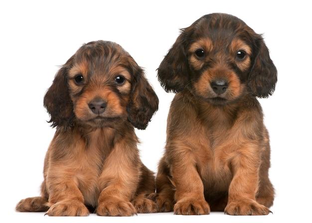 Teckel puppy (5 weken oud)