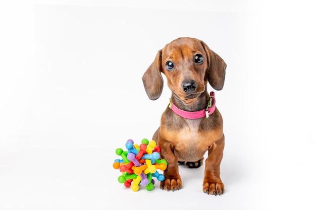 Teckel puppy met speelgoed geïsoleerd
