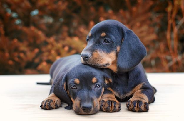 Teckel puppy's die samen zijn