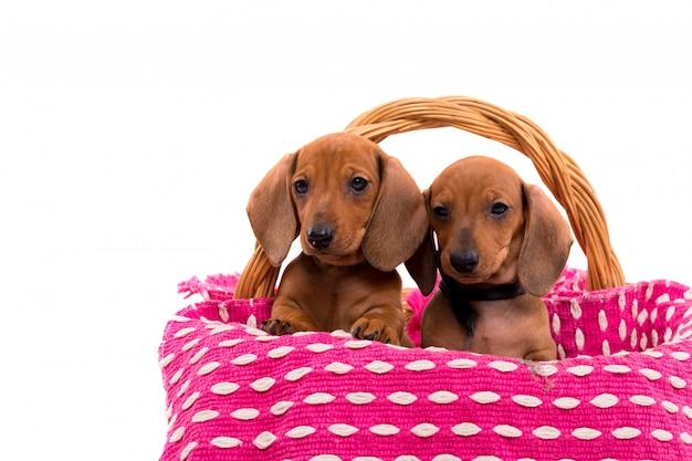 Teckel-puppy's
