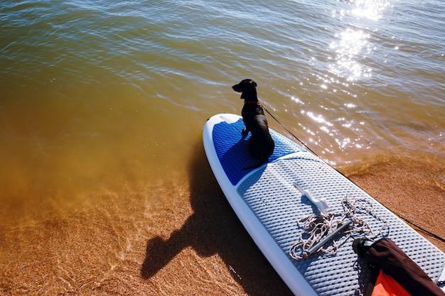 Teckel zittend op een windsurfplank op het strand. schattige zwarte hondje houdt van surfen.