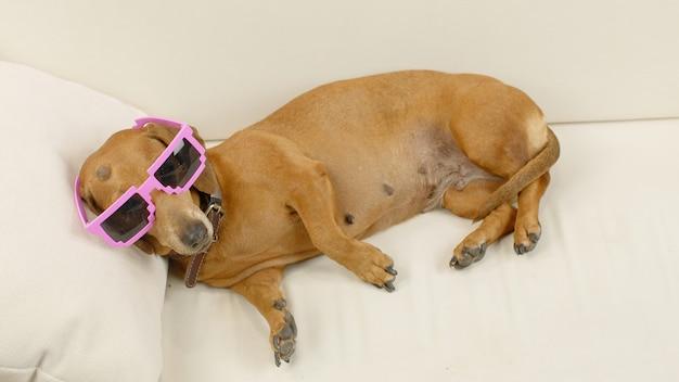 Teckelhond in een roze zonnebril die op de bank ligt grappig huisdier thuis