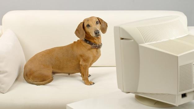 Teckelhond zit op de bank voor een oude computer huisdier kijkt naar het scherm van de pc