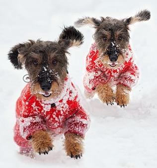 Teckelhonden rennen in de sneeuw