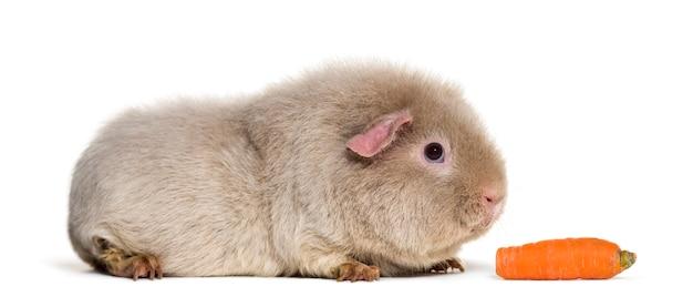 Teddy guinea pig, tegen wit oppervlak