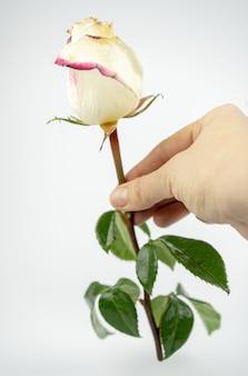 Tedere witte roos in een hand. geïsoleerd op witte achtergrond
