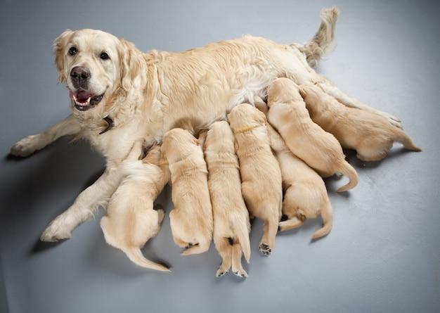 Teefje van golden retriever met puppies