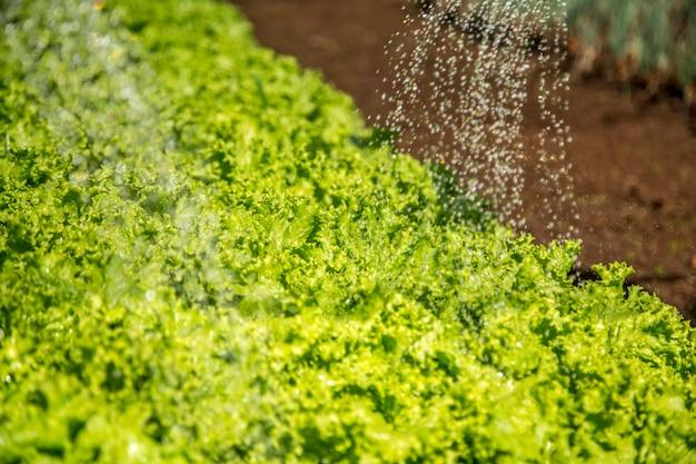 Teelt en oogsten van sla-irrigatie