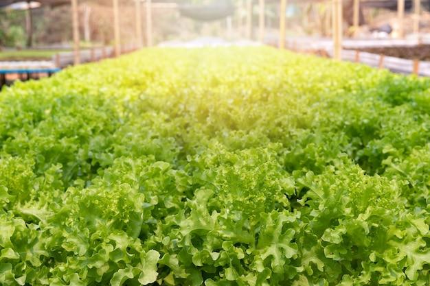 Teelt hydrocultuur groene eik in plantenkwekerij, biologische groenten.