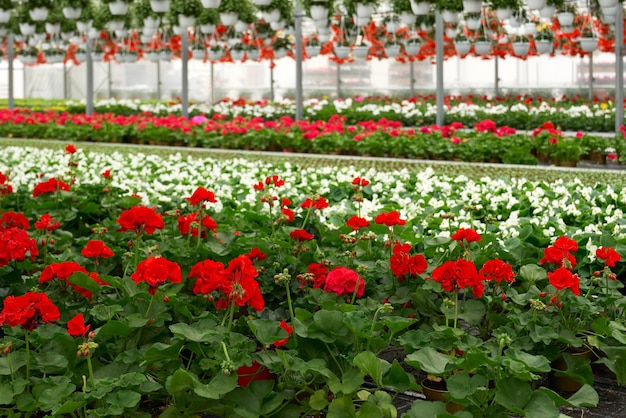 Teelt van bloemen in moderne kas