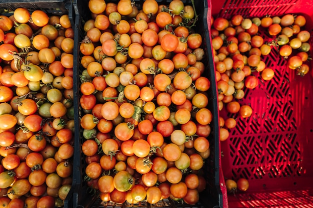 Teelt van cherrytomaten in puglia, ten zuiden van italië