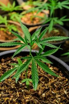 Teelt van marihuana (cannabis sativa), bloeiende cannabisplant als een medicinale drug