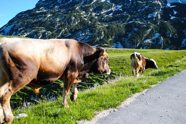 Ten noorden van montenegro, dieren op de weg