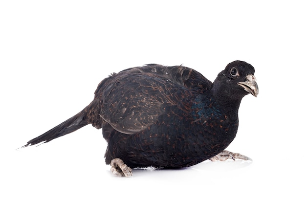Tenebrosus fazant geïsoleerd