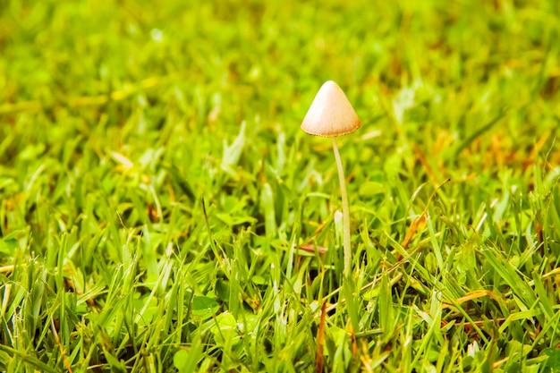 Termietpaddestoel, witte kegelpaddestoelen die in de ochtend groeien groen gazon zien er mooi uit, geschikt om te gebruiken als achtergrond, idee kopie ruimte