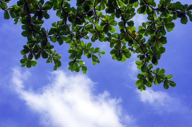 Terminalia catappa, tropische amandel- of indiase amandelbladeren met blauwe bewolkte hemelachtergrond.