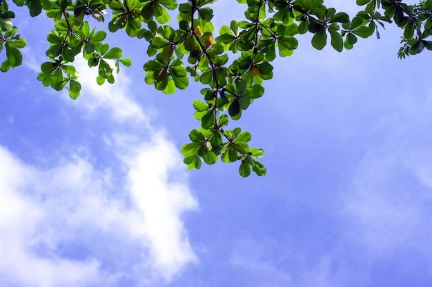 Terminalia catappa, tropische amandel- of indiase amandelbladeren met blauwe hemelachtergrond.