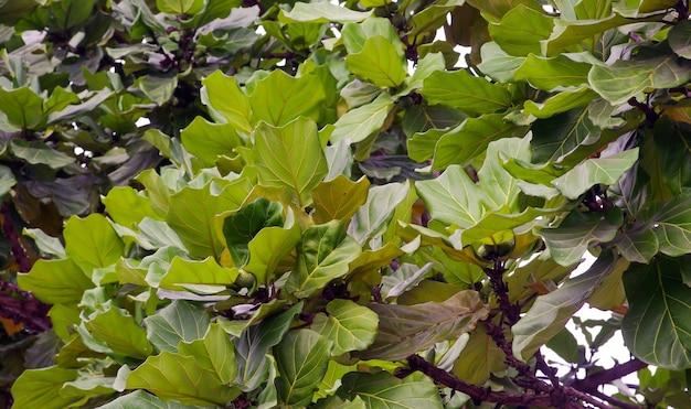 Terminalia catappa, tropische amandel- of indiase amandelbladeren op een zonnige dag.