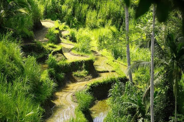 Terras rijstvelden in ubud op bali, indonesië