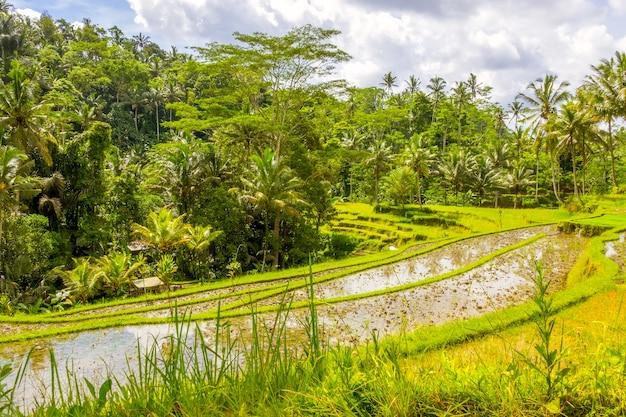 Terrassen van rijstvelden omgeven door jungle