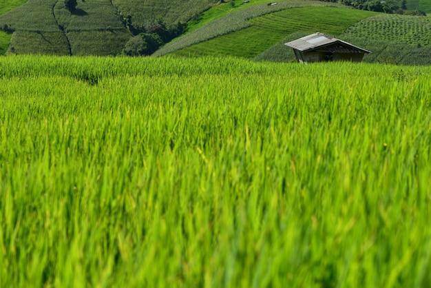 Terrasvormig padieveld op berg, het dorp van pa pong piang, chiang mai provincie, noordelijk van thailand