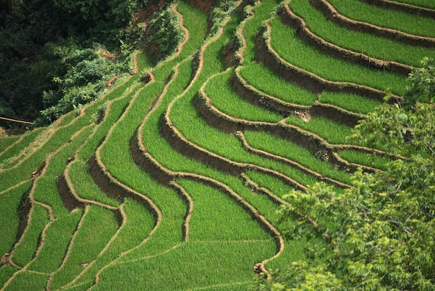 Terrasvormige padievelden in sapa, lao cai, vietnam