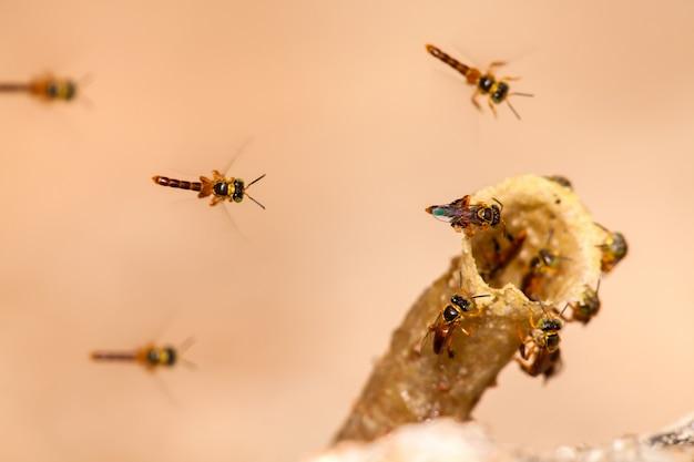 Tetragonisca angustula kolonie - honingbijen jatai - tijdens de vlucht