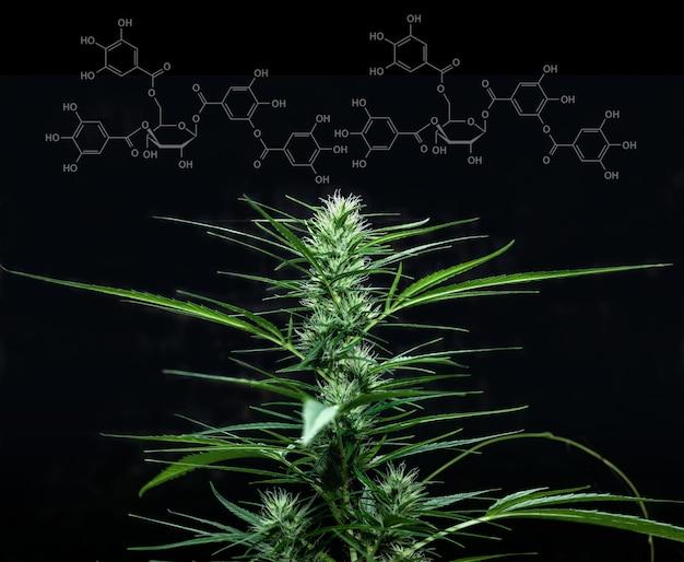 Tetrahydrocannabinol of molecuulformule met marihuana, cannabis sativa. wetenschap en madicine of gek groen kruidconcept