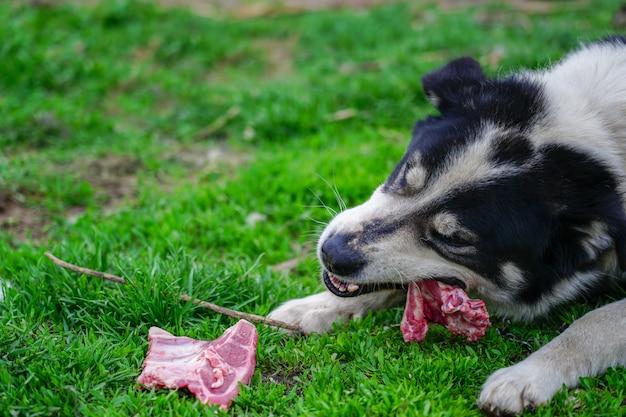 Tevreden en gelukkige hond die vlees op been eten dat op groen gras ligt
