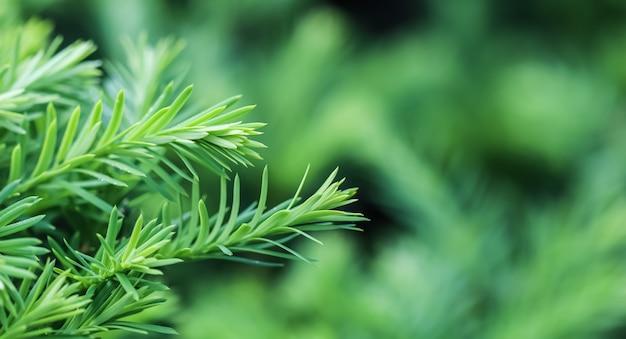 Textuur achtergrondpatroon van groene groeiende takken van decoratieve naald altijdgroene taxusboom