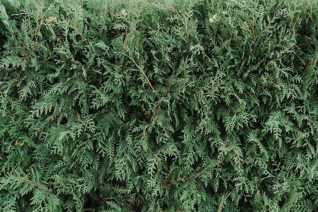 Textuur van een groene plantclose-up, een deel van een thuja