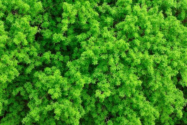 Textuur van gebladerte van bomen, groen gebladerte als achtergrond