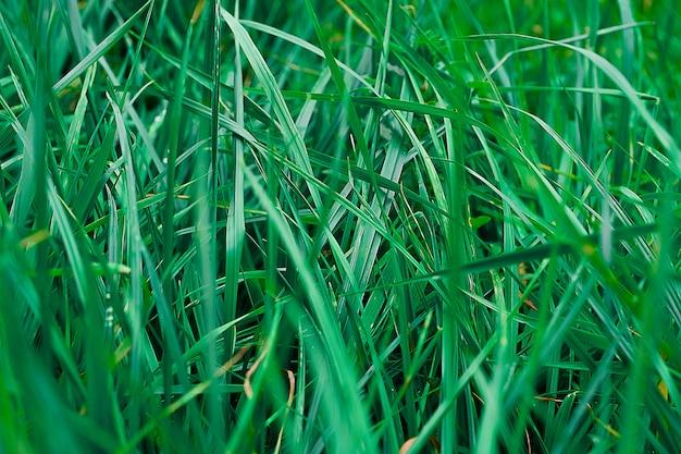 Textuur van groen zomer gras.