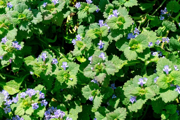 Textuur van groene bladeren en kleine blauwe bloemen voor het bovenaanzicht van de achtergrond. perfecte natuurlijke gebloemde kruidenachtergrond, behang