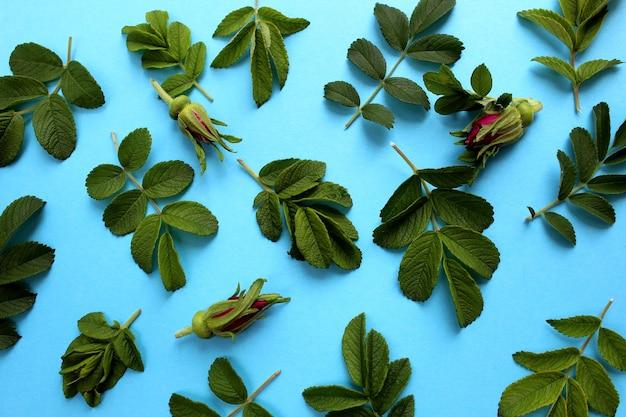 Textuur van groene bladeren en toppen van wilde roos of wilde roze bloemen op een blauwe achtergrond voor een abstracte kaart