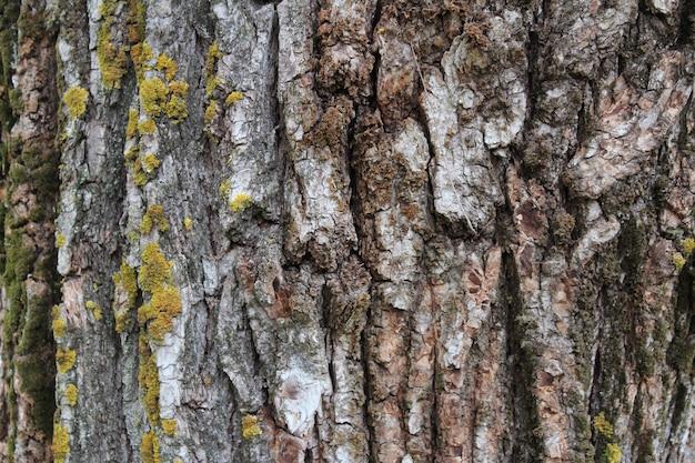 Textuur van oude boomschors met groen mos en korstmos. natuurlijke achtergrond