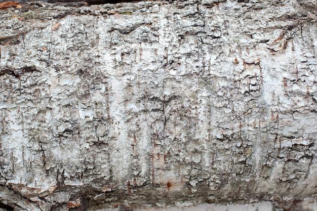 Textuur van witte berkeschors, felled in het bos