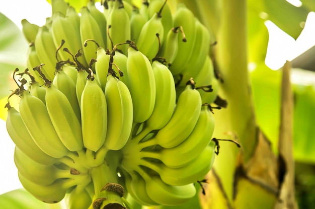 Textuur veel groene bananen aan een boom close up