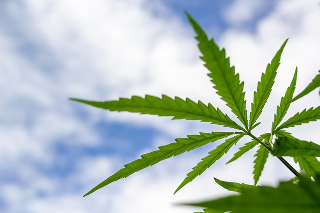 Thai stick groeiende cannabis biologisch op hemelachtergrond