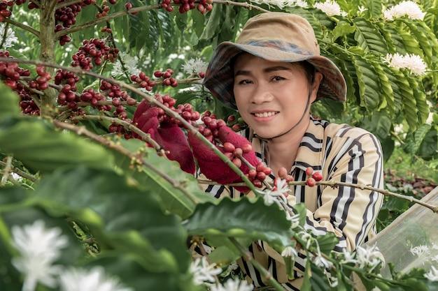 Thailand, boeren oogsten de koffieplantages van de familie, boeren plukken tak van koffieboom op koffieboom.