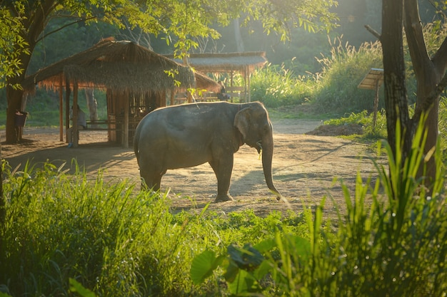 Thailand, olifant op de achtergrond van zonsopgang