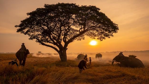 Thailand platteland; silhouetolifant op de achtergrond van zonsondergang, olifant thai in surin thailand.