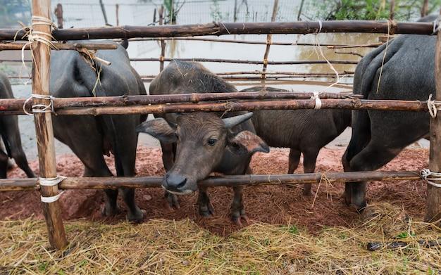 Thais inheems waterbuffellandbouwbedrijf bij zuiden van thailand.