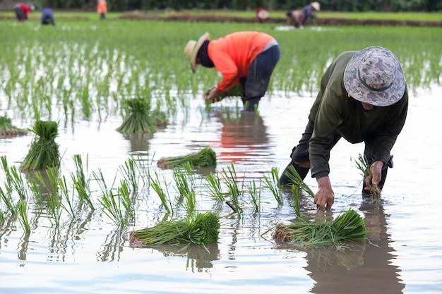 Thaise boer in rijstveld