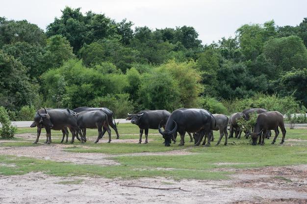 Thaise buffels lopen over het veld en gaan terug naar huis