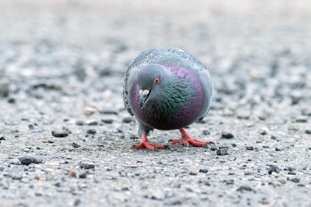 Thaise duif die voedsel op rotsachtige grond zoekt.