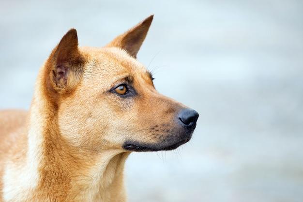 Thaise hond die bij het huis op de eigenaar wacht
