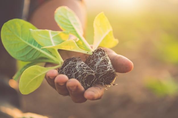 Thaise landbouwer die de groene tabaksplant plant