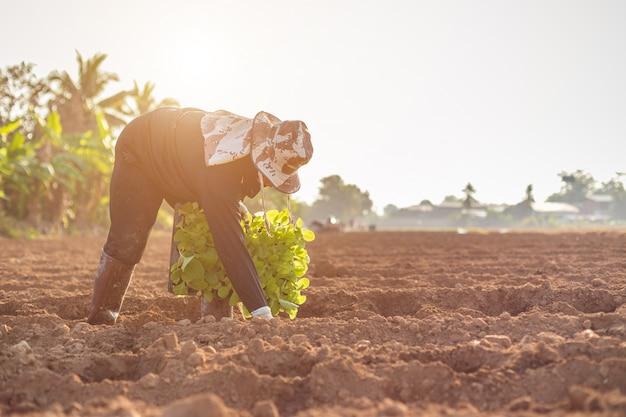 Thaise landbouwkundige die groene tabak op het gebied planten