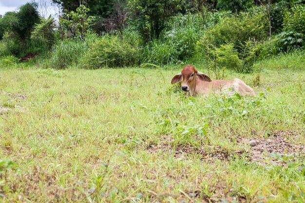Thaise moederkoe en kalf blijven op het gebied